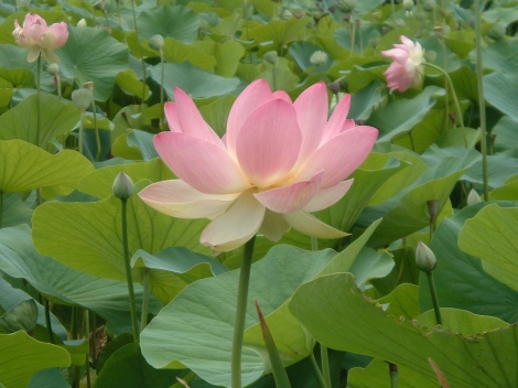 The beauty and complexity of the lotus flower, heavily ingrained with meaning in Buddhist symbology.