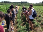 Students examining a tomato crop.