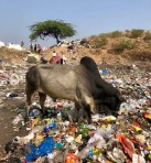 A cow sorts through the refuse for food. Photo: Helen Bucknell.