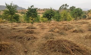Post-harvest debris in the field.